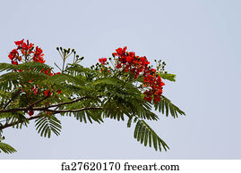 Free Art Print Of Acacia Nilotica Babul Tree India Freeart