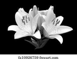Free art print of black and white flower art print black and white flower lily mightylinksfo
