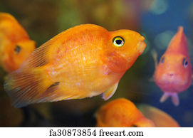 free art print of blood red parrot cichlid freeart fa30873881