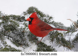 free art print of cardinal in snow male northern cardinal