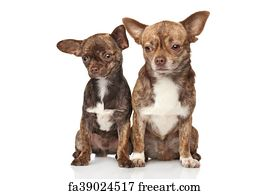Free art print of Two Chihuahua puppies  Two Chihuahua