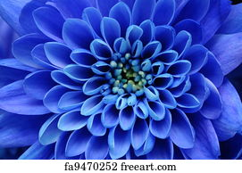 Close Up Of Blue Flower Aster With Petals And Yellow Heart For Background Or Texture