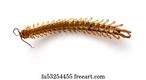 Free art print of Giant centipede