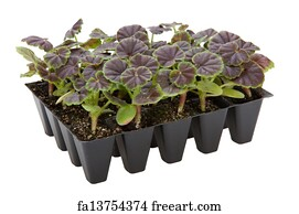 seed trays art print gernaium plants in seed tray ready for potting up