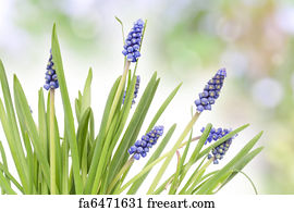 Free art print of border from first springs flowers muscari art print first springs flowers background mightylinksfo
