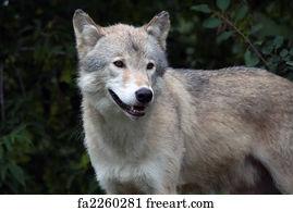Gray Wolf Gicl\u00e9e Print