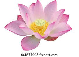 Free lotus flower art prints and wall artwork freeart lotus flower art print majestic lotus flower mightylinksfo
