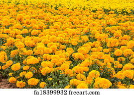 Free spring season in india art prints and wall artwork freeart spring season in india art print marigold flowers mightylinksfo