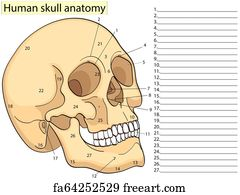 lacrimal bone art print - medical education chart of biology human skull  diagram  raster