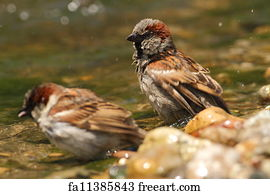Free sparrows art prints and wall art freeart sparrows art print passer domesticus sparrows bathing thecheapjerseys Gallery
