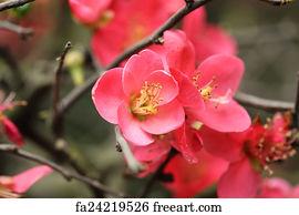 Art Print - Plum Flowers Blossom