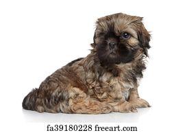 Free art print of Dog of breed shih-tzu on white background