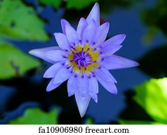 National Flower Of India Art Print - Water Lily Flower (Lotus) The Lotus Flower