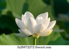 Free art print of white lotus flower freeart fa22764451 art print white lotus flower mightylinksfo