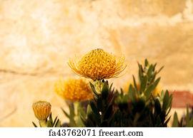 Free Art Print Of Pincushion Protea Leucospermum
